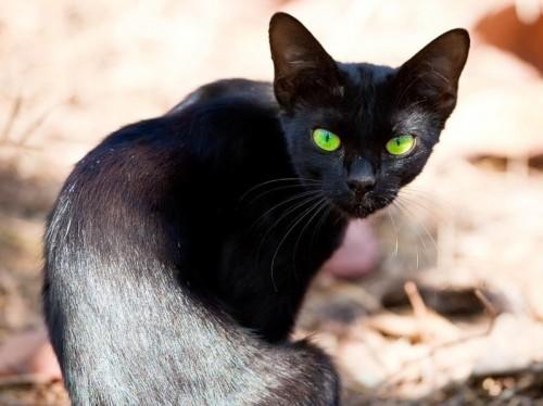 Чёрная кошка с зелёными глазами