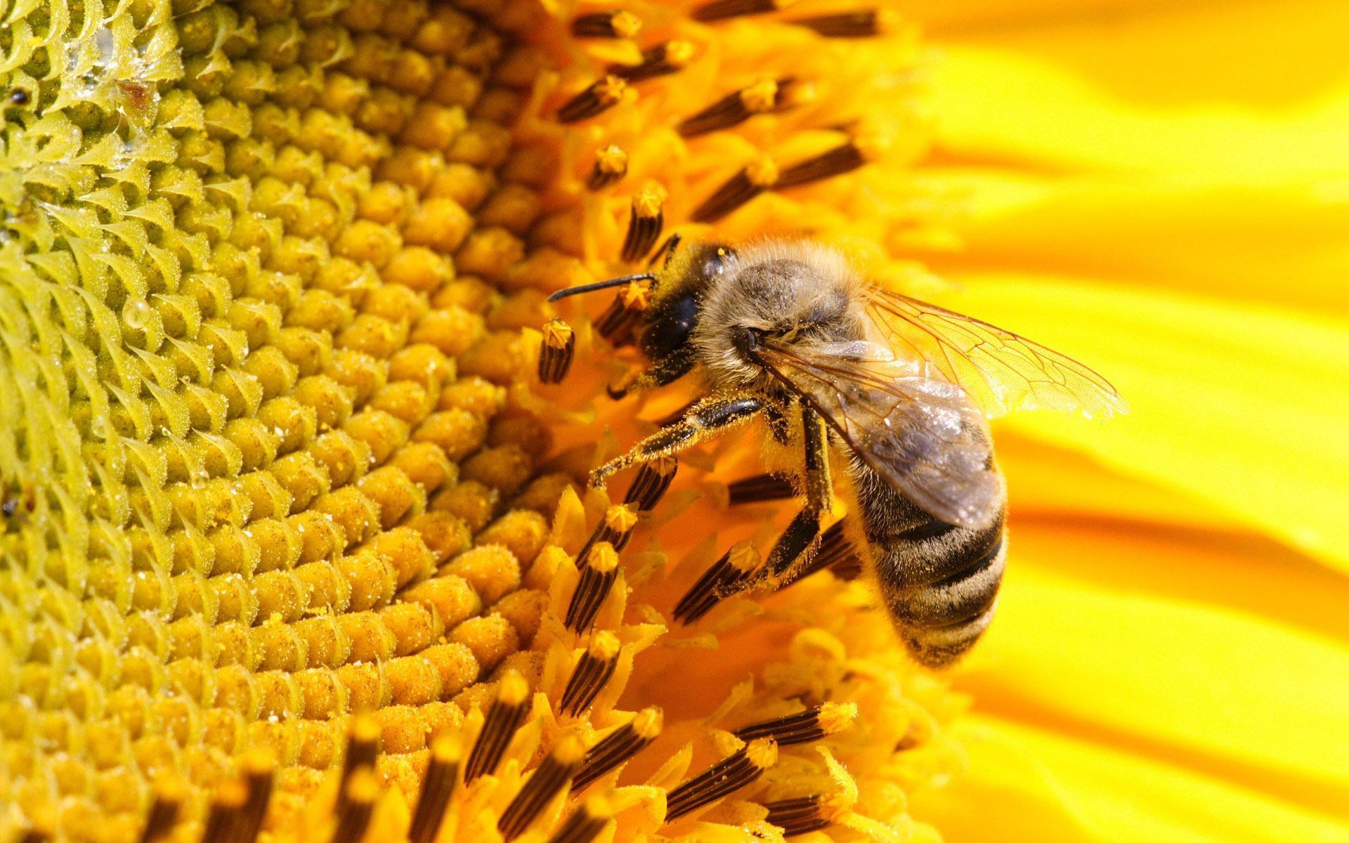 Пчела сидит на цветке подсолнуха