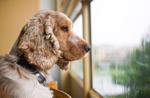 Собака смотрит в окно