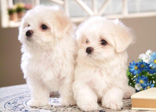 Маленькие собачки белого цвета