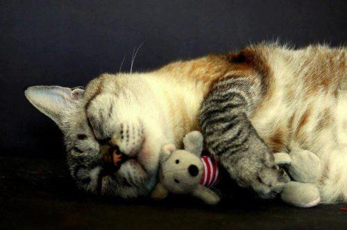Кот спит с игрушкой
